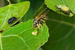 Stor wasp som äter caterpillarmatvaruaffär. Royaltyfria Foton