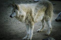 Rovdjur vit varg som vilar i det härliga laget för sol Royaltyfri Fotografi