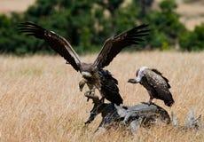 Rovdjurs- fåglar sitter på jordningen kenya tanzania Arkivfoton