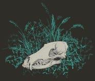 rovdjurs- skalle Royaltyfri Fotografi