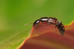 Rove Beetle. A Rove Beetle on the Edge of a Leaf royalty free stock images
