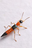 Rove Beetle. A closeup photo taken on a rove beetle royalty free stock photos
