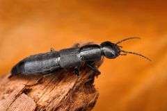 rove beetle with blurred background Royalty Free Stock Images