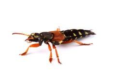Rove Beetle (Staphylinus Caesareus) Isolated On White Stock Photos