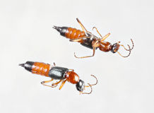 Rove beetles or paederus fuscipes. Extreme close up rove beetles or paederus fuscipes isolated on gray background - deep focus image royalty free stock image