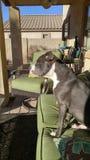 Rover Dog Blu Imágenes de archivo libres de regalías