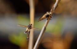 Roversvliegen, vrijageritueel Royalty-vrije Stock Fotografie
