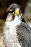 rovfågel Royaltyfria Bilder