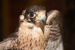 rovfågel Arkivfoton