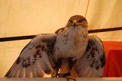 rovfågel Royaltyfri Fotografi