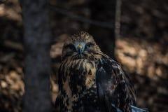 Rovfågel som sätta sig på jordningen Royaltyfri Fotografi
