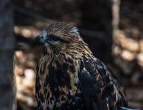 Rovfågel som sätta sig på jordningen Arkivfoto