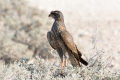 Rovfågelfågel Arkivbilder