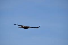 Rovfågeln Royaltyfri Foto
