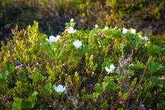 Rovi di fioritura nel Nord Fotografia Stock Libera da Diritti