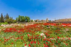 Rovine Baalbek Beeka Libano di Romani del campo del papavero Fotografie Stock Libere da Diritti