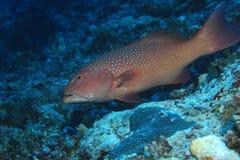 Roving coralgrouper fish. Plectropomus pessuliferus underwater in the indian ocean royalty free stock image