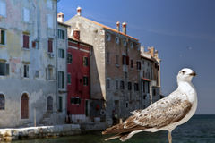 Rovinj Croatia and seagull Royalty Free Stock Photography