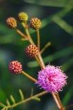 Rovo di Catclaw - nuttallii della mimosa Fotografia Stock