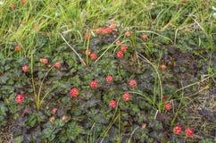 Rovo maturo Bacche mature nell'ambiente naturale fotografie stock libere da diritti