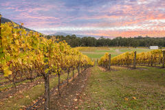 Rovs of yellow leafed fines at Vineyard in Yarra Valley, Austral Royalty Free Stock Images