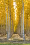 Planned Planting of Aspen Trees In A Row Autumn Stock Photos