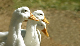 In a row. Geese looking ahead stock photos