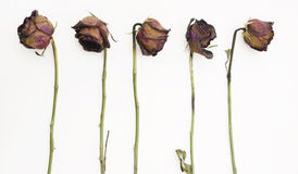Row of 5 old dried red roses Stock Photo