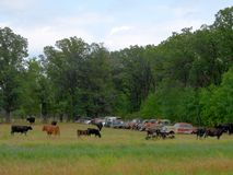 Row of abandoned rusty old cars and cattle royalty free stock image