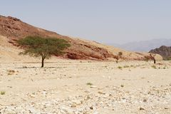 Row of acacia trees in the desert canyon near Eilat, Israel Stock Photo