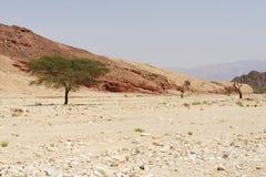 Row of acacia trees in the desert canyon near Eilat, Israel. Row of acacia trees in the stone desert canyon near Eilat, Israel Stock Photo