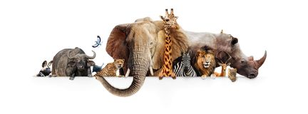 Safari Animals Hanging Over White Banner. Row of African safari animals hanging their paws over a white banner. Image sized to fit a popular social media Royalty Free Stock Image