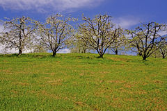 Row of apple trees in bloom with a clear blue sky. Royalty Free Stock Photos