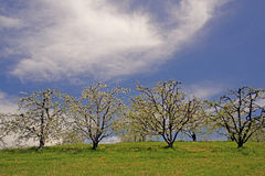 Row of apple trees in bloom with a clear blue sky. Stock Photography