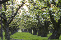 Row of apple trees Stock Images