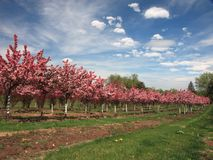 Row of apple trees with flowers in orchard royalty free stock photography