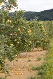 Row of apple trees in orchard in countryside Royalty Free Stock Image