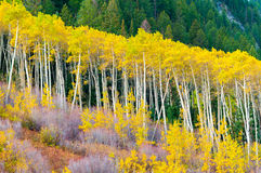 A row of aspen trees in the peak of the Fall colors Stock Photos