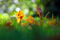 Row of autumn fall leaves in the sun on the green grass on a meadow. Row of autumn fall leaves in the sun on the green grass Stock Image