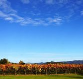 Row of autumn grapevines Royalty Free Stock Photography