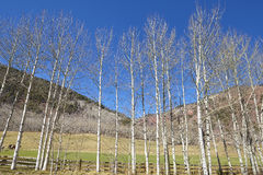 Row of autumn leafless birch trees on a sunny day.  stock photo