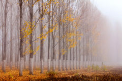 Row of autumn poplars by the lake Royalty Free Stock Images