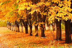 Row of the autumnal trees. Orange leaves Royalty Free Stock Image