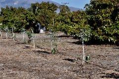 A row of avocado saplings and a row of mature avocado trees. royalty free stock image