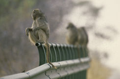 Row of baboons on a bridge, South Africa Royalty Free Stock Images