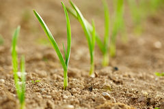 Row of baby garlic on a lawn Royalty Free Stock Image