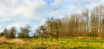 Row of bare old apple trees in a Dutch polder Stock Photography