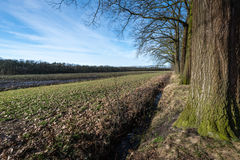 Row of bare tree beside a field in wintertime Royalty Free Stock Images
