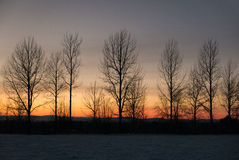 Row of bare trees against winter sunset sky Royalty Free Stock Photo