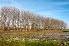 Row of bare trees in autumn Royalty Free Stock Photography